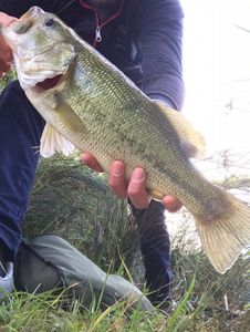 Largemouth Bass — Vince Tp