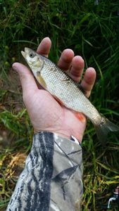 Chub — Scary Fishing