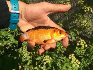 Goldfish — Fishing Porquerolles