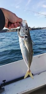 Atlantic Horse Mackerel — Andy LGL