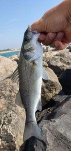 European Bass (Seabass) — Olivier Detambel