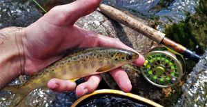 Atlantic Salmon (Juvenile)