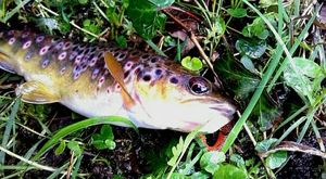 Brown Trout — Youen Guesdon ( chaine youtube le schtroumpff fishing)