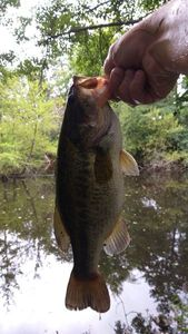 Largemouth Bass — Ben Chaumontel