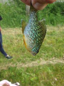 Green Sunfish — Yohann Picard