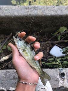 Largemouth Bass — les2 mordus