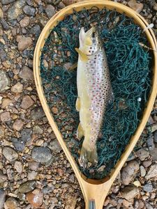 Brown Trout — Tom Lejuez