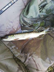 Northern Pike — cool fishing 86