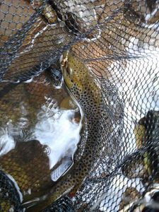 Brown Trout — Gregory Gaudin