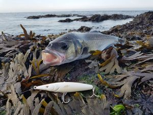 European Bass (Seabass) — Thomas Gilles