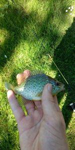 Green Sunfish — Joseph Cheval