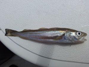 Atlantic Cod (Baltic)