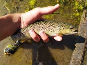 "Brown Trout — Joris Massire ""Fisheart"""