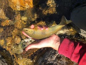 Brown Trout — Amaury Janik