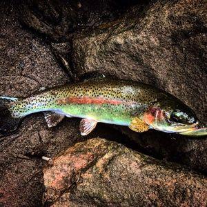 Brown Trout — Dam Perherin