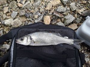 European Bass — Ilann Prigent-bihan