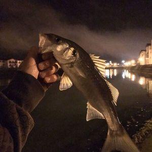 European Bass (Seabass) — Dam Perherin
