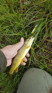 Brown Trout — David Wenger