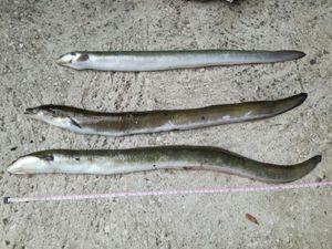 European Eel (Common Eel) — Nicolas Jouanserre