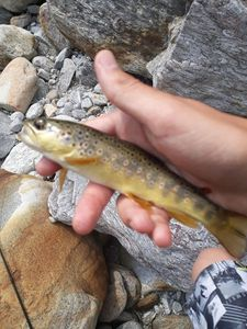Brown Trout — Truite 14