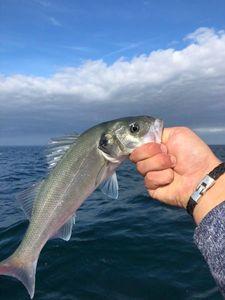 European Bass (Seabass) — Gauthier Coyette 🎣