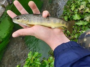 Brown Trout — Rod fishing .