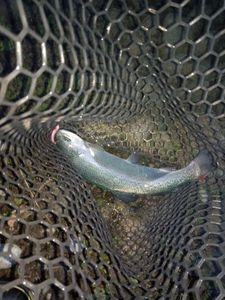 Rainbow Trout — David Mery