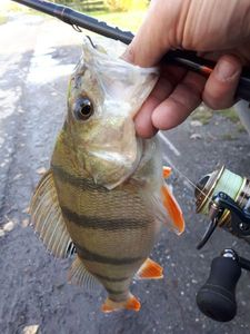 European Perch — Miroux Steve
