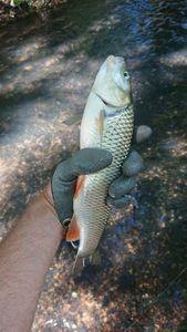 Chub — MaCK  Fishing