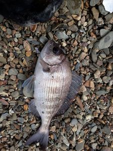 Black Seabream — Bertrand Kerdreux