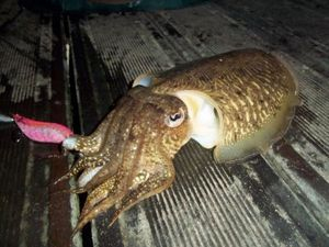 Common Cuttlefish — Andy LGL
