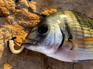 White Seabream — Hugo Demolliens