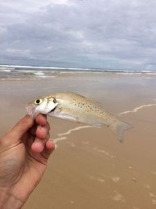 Spotted Seabass