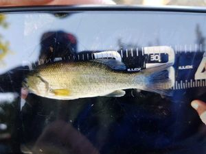 Largemouth Bass — Florentin Bizieux