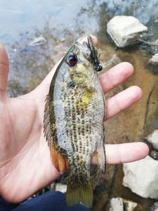 Rock Bass — Hugo Slz
