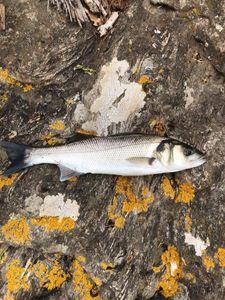 European Bass (Seabass) — Adrien Aladenise