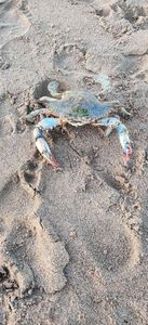 Common Shore Crab (Green Crab)