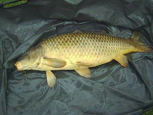 Common Carp — Rod fishing .