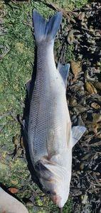 European Bass (Seabass) — Thierry 17