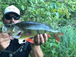 European Perch — Fish & Fils