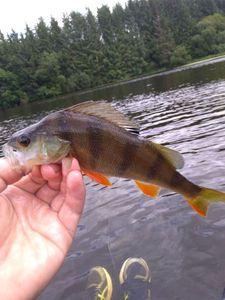 European Perch — fishiscoming fr