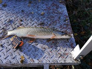 Northern Pike — Quentin Giry