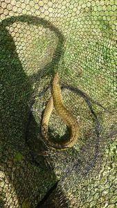 European Eel (Common Eel) — Benj Gabber