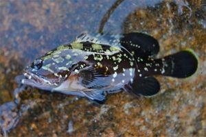 Brown Grouper — Morgan CALU