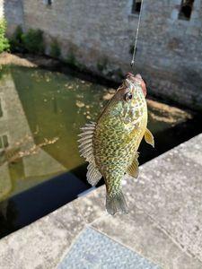 Green Sunfish — Mathieu  Vergne