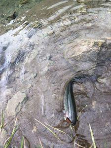 Truite Arc-en-Ciel — Maxou pescadou