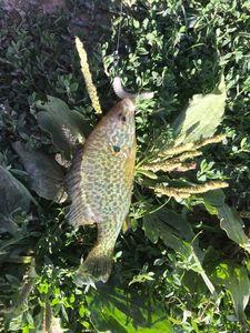 Green Sunfish — Timi Fi-sh