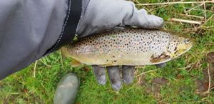 Brown Trout — Ludovic Causse