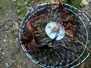 Red Swamp Crayfish — Alain Kotvas