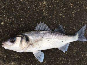 European Bass (Seabass) — Matthieu Cormier